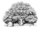 "'Domestic Oak' pencil drawing 11"" x 8"""